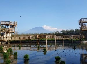 Wisata Sawah Merti Bumi di Desa Gendingan, Ngawi